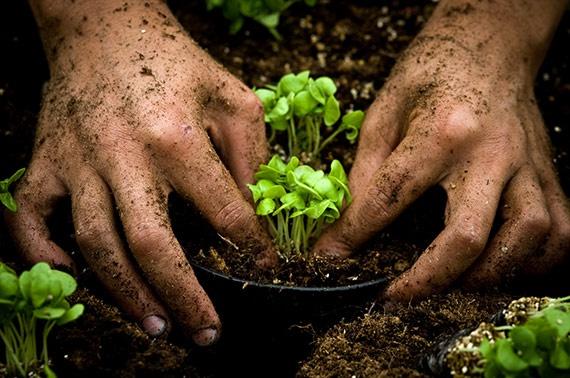 Kérdés, javít-e ez a termelési módszer a hazai növénynemesítők helyzetén, mert a kistermelők többnyire maguk gyűjtik a magokat.