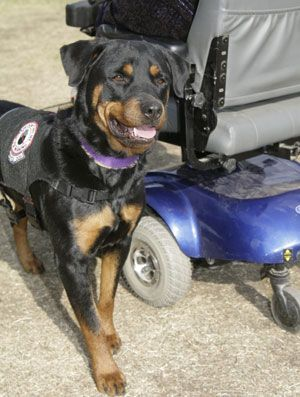 by Kristina N. Lotz According to the United States Department of Agriculture, service dogs originated in 1920s Germany, where guide dogs were first used to help blind World War I veterans. In 1929, The Seeing Eye® guide dog school opened in the United States, the first of its kind.