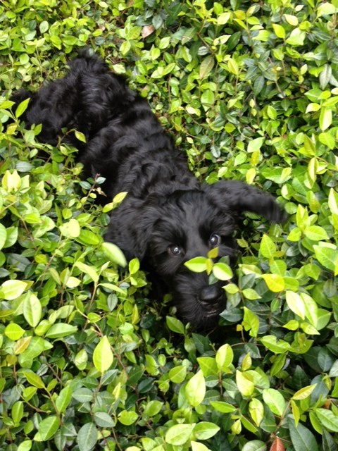 Sadie, our Giant Schnauzer puppy at 8 weeks.