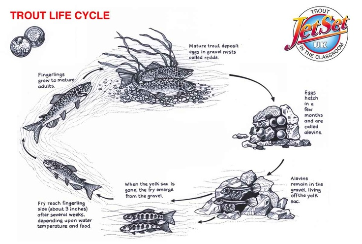 Fish life cycle worksheet for kids for Fish life cycle