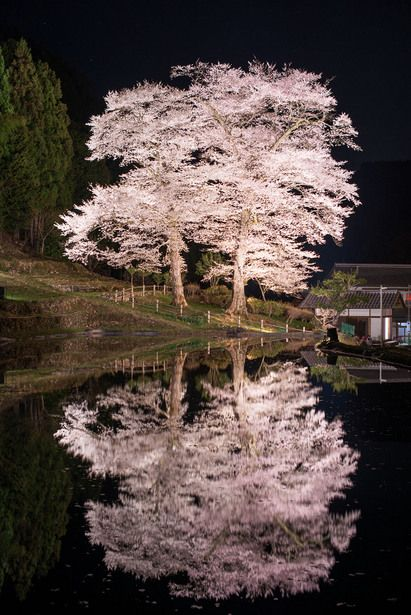 Cherry tree at Kadowasa, Gifu, Japan 下呂市門和佐