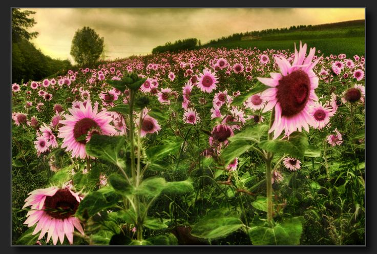 Pink+Sunflowers | Pink Sunflowers by M. Sherman / © All rights reserved