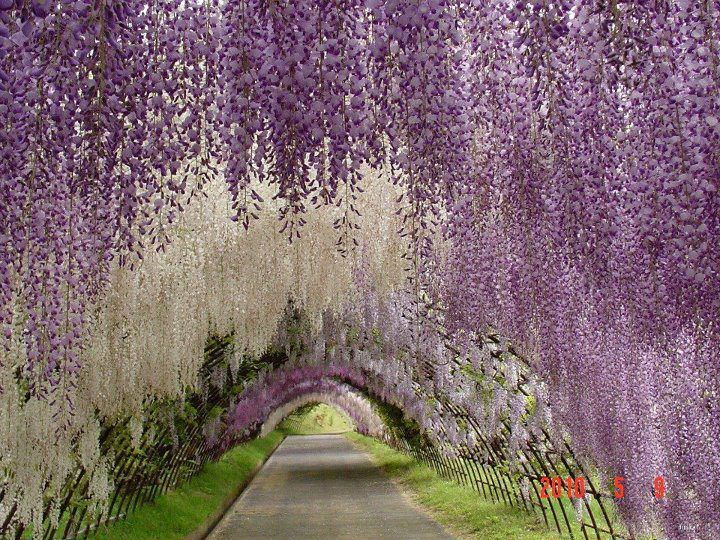 This stunning flower walkway is known as the Wisteria Tunnel, situated in the Kawachi Fuji Garden in Kitakyushu, Japan: Walks, Color, Fuji Gardens, Parks, Goats Chee, Kawachifuji, Kawachi Fuji, Wisteria Lane, Japan Gardens