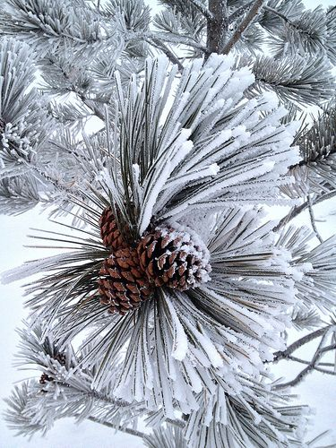 "Winter Fashion Accessories | by LostMyHeadache [Dave Smith]...""This beautiful mini pine tree in a field near my house looked so amazing in its frosty winter coat, and it even had some awesome fashion accessories.""...Calgary Alberta, Canada"