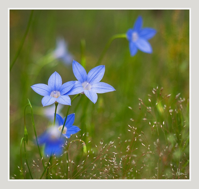 Royal Bluebell, (Wahlenbergia gloriosa)Floral Emblem of the Australian Capital Territory