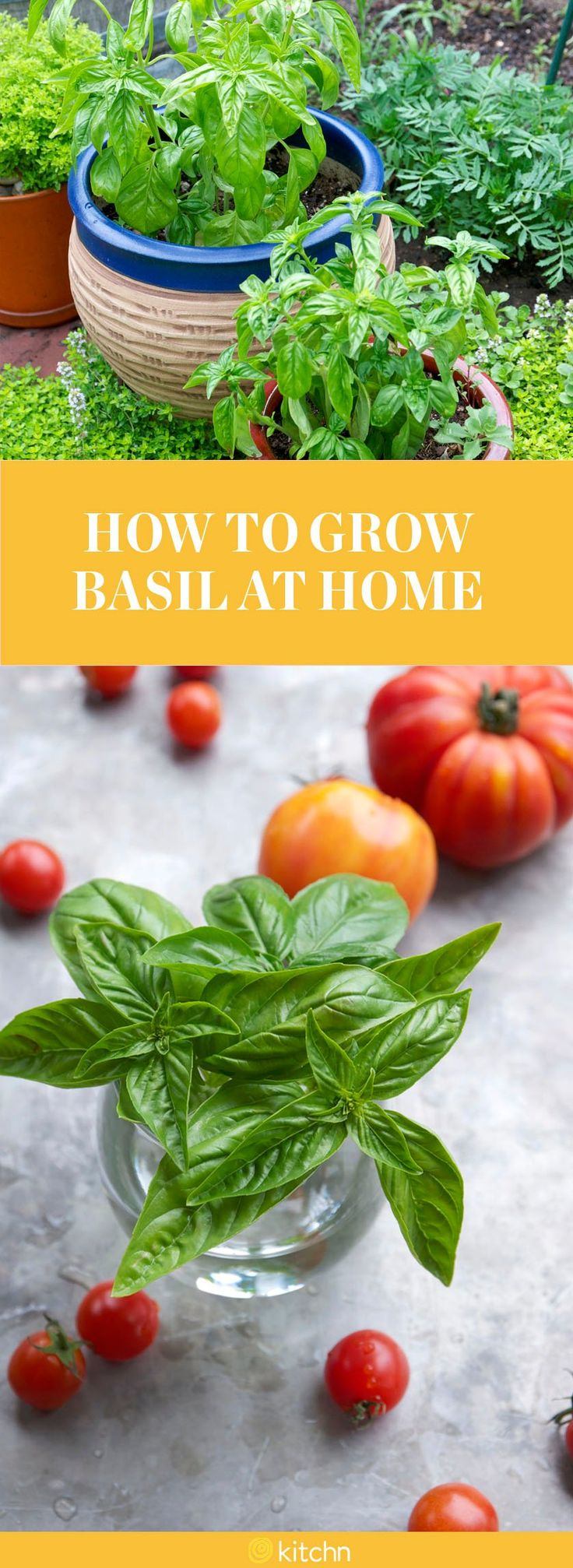 Learn how to grow basil at home. This tutorial teaches you everything you need to know about how to grow basil outdoors from the ground up. Whether it be planted, cultivated, or harvested, we've got all the tactics. Learn the basics as to how you can bring home and into your kitchen this fresh and spicy plant.