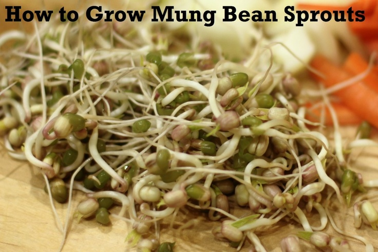 How to Grow Mung Bean Sprouts Gardening Pinterest