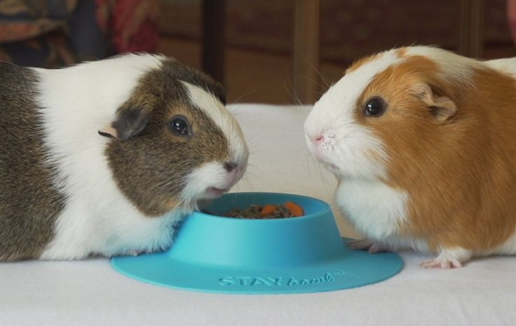 STAYbowl™ Tip-Proof Bowl for Guinea Pigs and Small Pets - NOW WITH NEW COLORS for SPRING - Limited Quantity