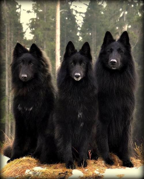Black wolves...beautiful. The one on the right looks just like my girlfriend's wolf Sarge!