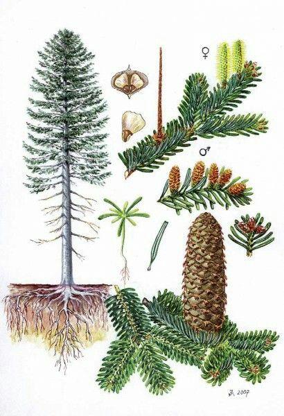 Jedle bělokorá (Abies alba)