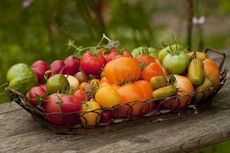 Tomaten – meine Sorten, meine Anbautipps