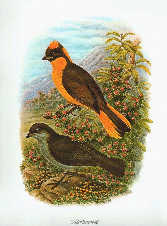 Stampa antica, grande BOWER uccelli 128 tabella bella parete arte colore vintage Litografia piume illustrazione pennacchi uccelli uccello