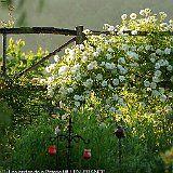 rosier Iceberg au jardin typ medieval.JPG