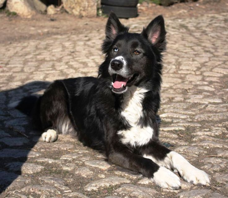 siberian husky border collie mix - Google Search