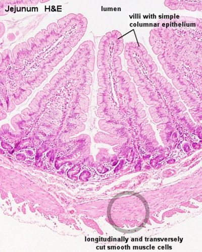 Smooth muscle histology 001.jpg ...