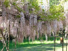 how to prune wisteria - prune in the summer after it flowers to encourage more blooms