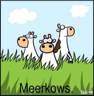 One cow....Meerkows.