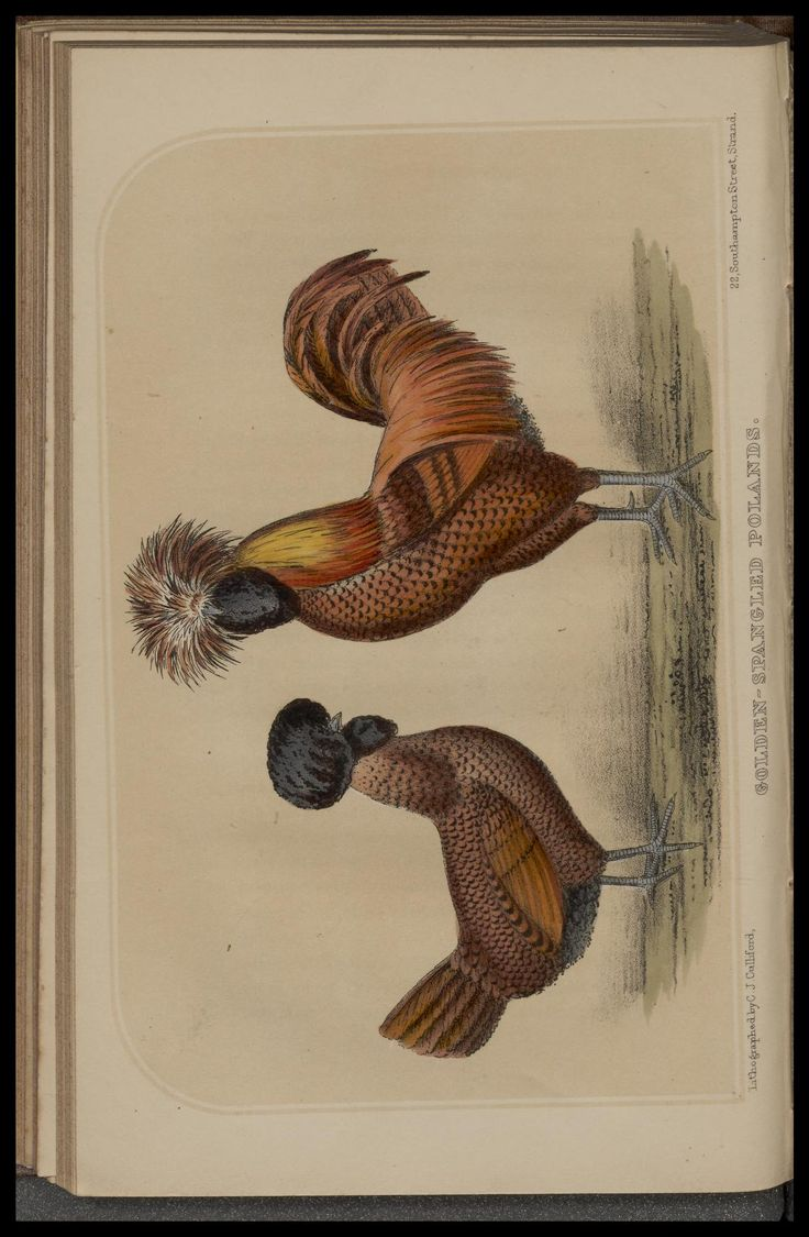 images about antique bird prints bird prints essays upon all classes of domestic fowl s n g ferguson beaufort biodiversitylibrary biodivlibrary bhl biodiversity heritage library