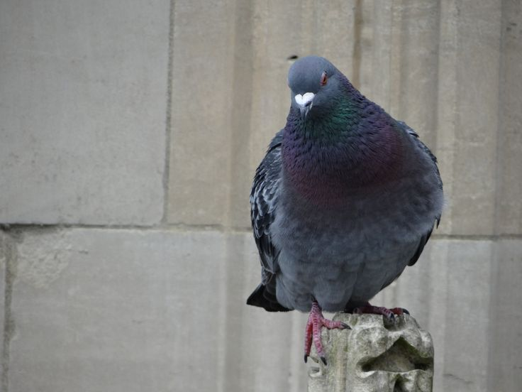 Domestic Pigeon / Bydue / Columba livia var. domestica. On the Minster, York, Great Britain. June 2014