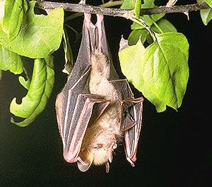 Honduran Ghost Bat | brief-description-of-the-mysterious-honduran-ghost-bat