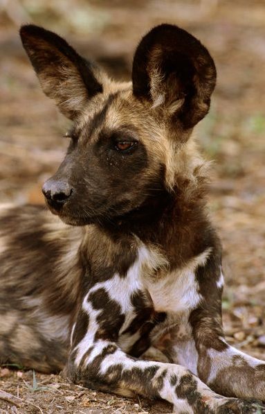Africa | African wild dog (Lycaon pictus) lying down. Okavango Delta, Botswana |  © Dave Hamman for Lonely Planet Images