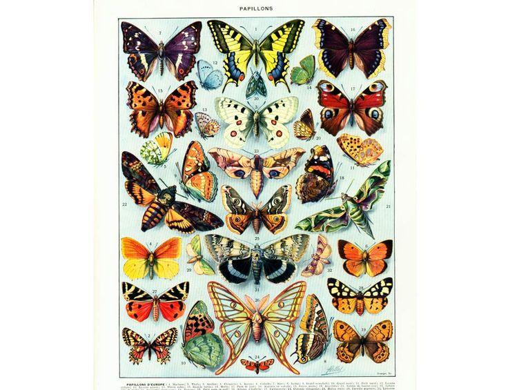 1933 Papillons Parnassius Apollon Machaon Paon du Jour Zygène Isabelle Argus Sphinx Tête de Mort Planche Entomologie identification Larousse de la boutique sofrenchvintage sur Etsy