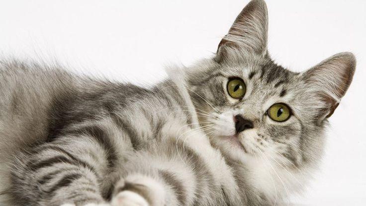 Norwegian Forest Cat -
