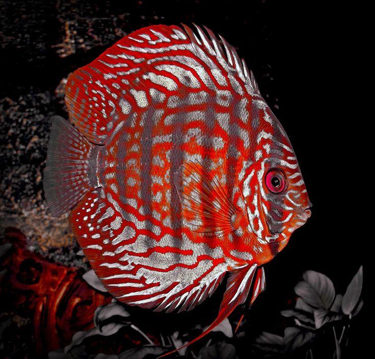 aquarium fish.  Possibly a checkerboard blood discus