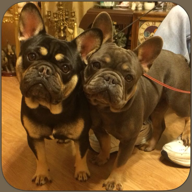 The Boyz ❤️ French Bulldogs, blue and tan and black and tan.