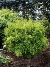 Klein wachsender Bambus für Schatten bis Halbschatten -> Fargesia murielae 'Bimbo'