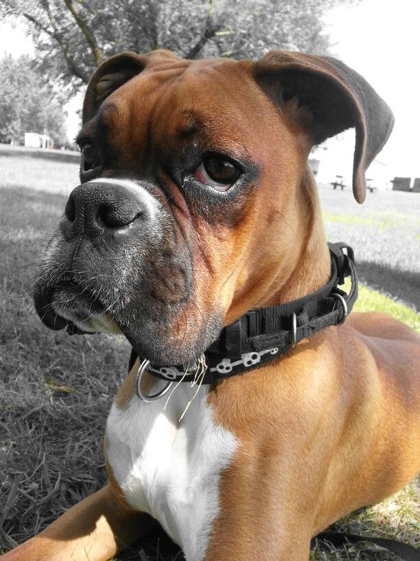 Boxers♥ this looks identical to our Hector!!