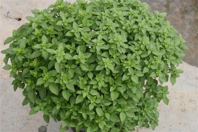 La Albahaca (Ocimum basilicum) Este post esta dedicado a la Albahaca o Alfabega (Ocimum basilicum). Planta aromática original de las regiones tropicales de Asia. la Albahaca es una planta anual muy sensible a las heladas. Se cultiva