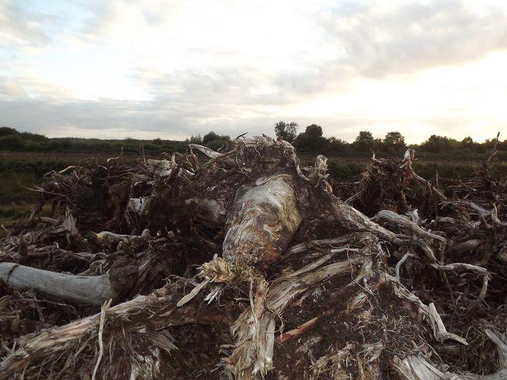 massive chunks of bog wood