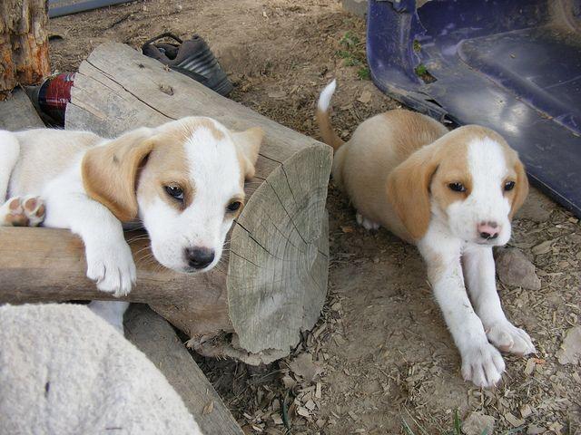 Lemon Puppies