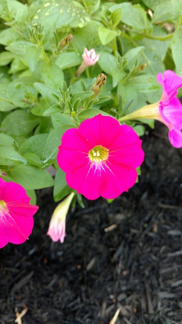 Beautiful hybrid petunias