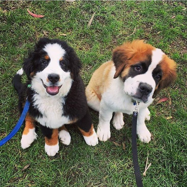 Already have the saint bernard, now i just need the bernese mountain dog