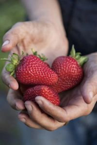 Can't you almost taste them? Juicy, organically grown strawberries form the basis of many gourmet deserts, here at Scott River Lodge. scottriverlodge.com #sustainablefarming #organic #strawberries #vacation