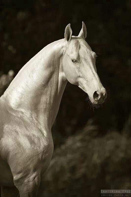 Akhal Teke Horse, only around 3,500 left :-( so amazingly beautiful!