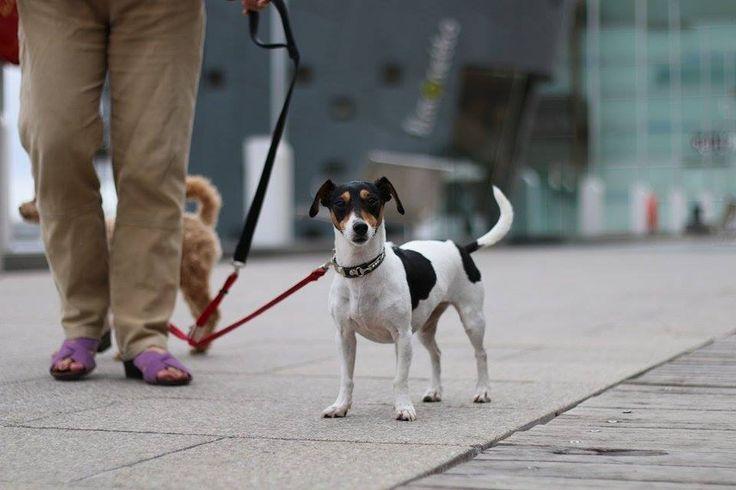 Terrier on the boardwalk. Docklands, Melbourne