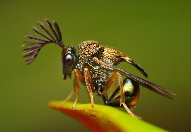 Vespa parasitaria das formigas, Eucharitidae.