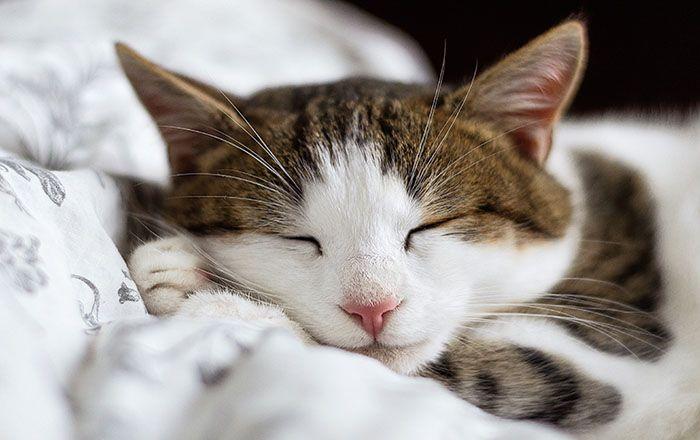 Para celebrar nuestro amor por los gatos he reunido las mejores frases de gatos dichos por verdadero amantes de estas fabulosas criaturas.