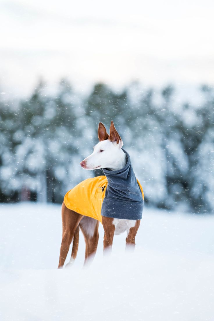 Mango, an Ibizan Hound Dog, playing in the snow in a Yellow Voyagers K9 Apparel Winter Coat. Voyagers K9 Apparel makes breed-specific, custom dog coats to keep dogs warm and dry during the cold months. Check us out at www.k9apparel.com