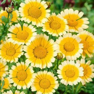Garland Daisy Seeds, Chrysanthemum coronarium - Wildflower Seeds from American Meadows