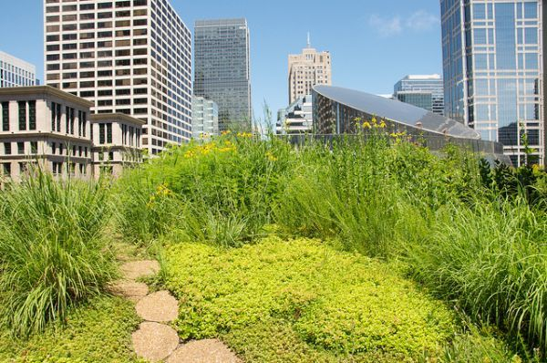 A rooftop garden atop Chicago's City Hall, to curb what is termed the 'urban heat island effect', a phenomenon created when black-top roofs and asphalt parking lots soak up heat and increase city temperatures on hot summer days.
