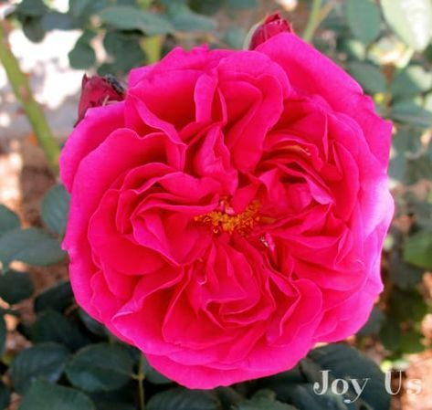 """""""Wenlock"""", a shrub rose. Here you'll find pictures of roses by color & label what type they are & the year they were introduced. The ones with AARS before the year denote they have exceptional qualities as only a few of them get chosen. #roses #gardening #garden"""