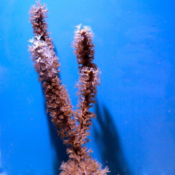 Vente de Gorgone symbiotique, Eunicea, label Eco-Gorgs™, pour mettre du mouvement dans votre aquarium récifal - Coral Biome, Live Cultured Corals
