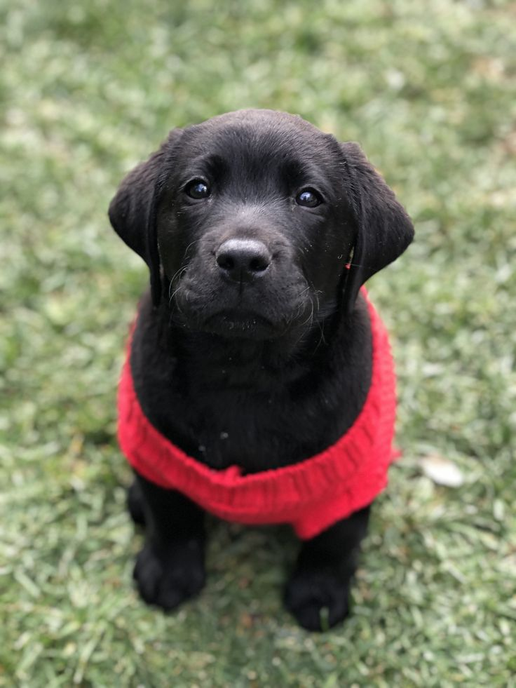 Christmas English Lab Puppy