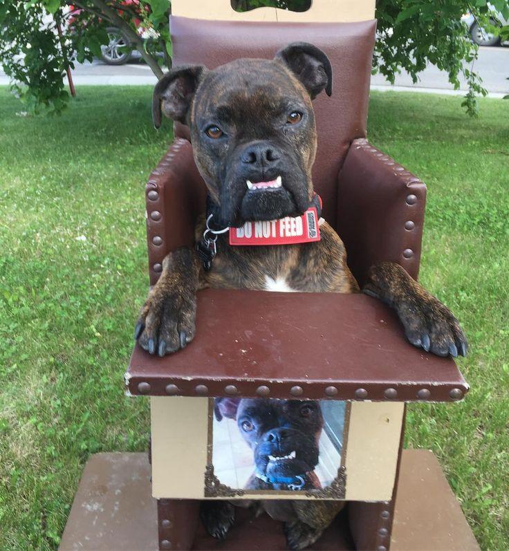 My #furloveofmylife #furever #gremlin #valleybulldog #megaesophagus #megaedoesntstopme #valleybulldog #boxer #bulldog #bulldogsofinstagram #boxersofinstagram #baileychair #dogs_of_instagram