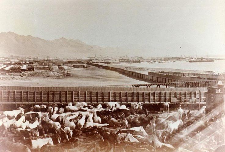 Caballeriza Los caballos fueron vitales en la Guerra del Pacífico. Esta era la caballeriza del Regimiento de Cazadores en 1879