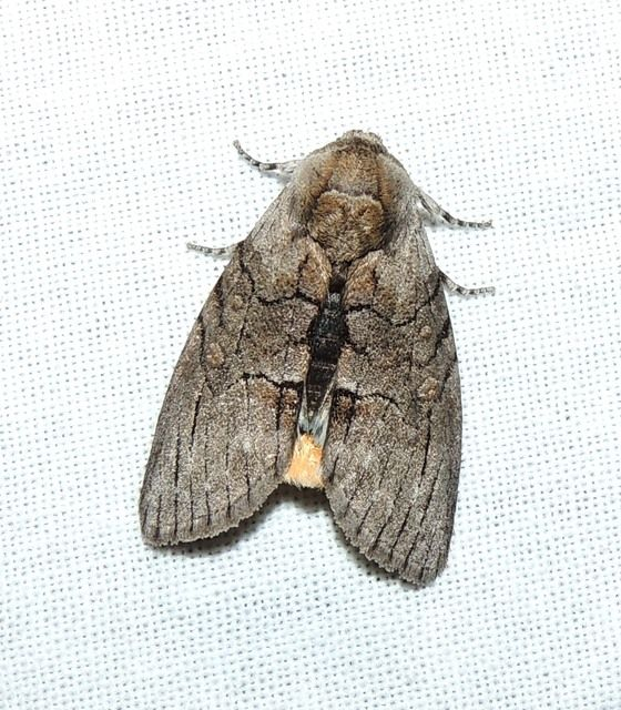 Image result for batwing moth